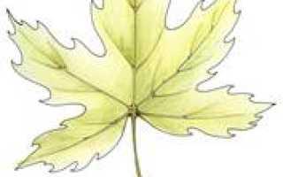 Пальчатые листья. ПАЛЬЧАТЫЙ ЛИСТ