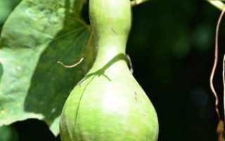 Лагенария фото. Список наиболее распространенных сортов лагенарии (названия и фото)