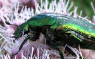 Ярко зеленый жук. Золотистая бронзовка (Cetonia aurata)