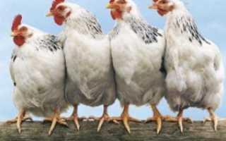 Продолжительность жизни курицы в домашних условиях. Сколько лет живет курица и ее жизненный цикл