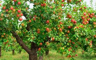 Мучнистая роса на яблоне как бороться. Как лечить яблони от мучнистой росы?