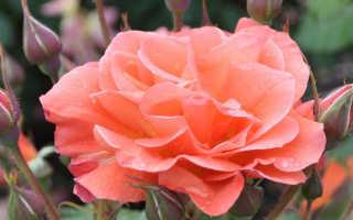 """Роза вестерланд фото. Описание плетистой розы """"Вестерленд"""" с отзывами и уходом"""