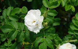 Роза морщинистая посадка. Роза морщинистая: сорта, фото, посадка, уход