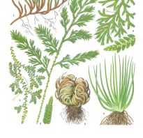Селагинелла крауза. Род: Selaginella = Селагинелла