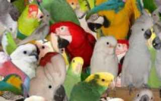 Маленькая домашняя птичка. Самые популярные декоративные птицы в мире