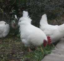 Мини курочки. Мини-куры: разведение и содержание мясных кур