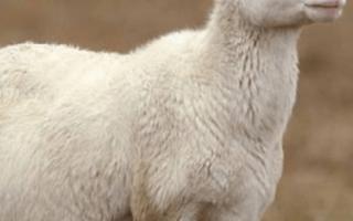 Через сколько месяцев рожают овцы. Как проходит беременность у овцы?