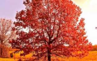 Красный дуб фото. Дуб красный, фото, описание, условия выращивания, посадка, уход