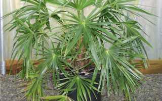 Растение похожее на пальму. Рубрика: Пальмы