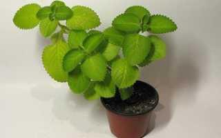 Мятное дерево комнатное растение. Комнатная мята — многофункциональное домашнее растение