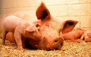 Разведение ландрасов видео. Свиньи породы Ландрас