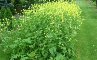 Посадка горчицы весной. Как посеять горчицу для улучшения почвы и в качестве удобрения