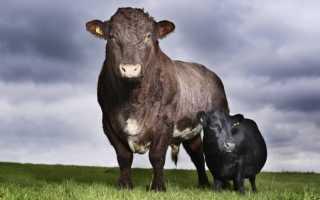 Сколько весит взрослый бык. Сколько весит корова и как рассчитать её вес