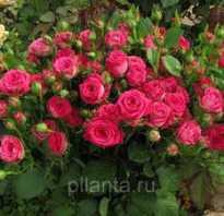 Роза тайфун описание. Роза спрей