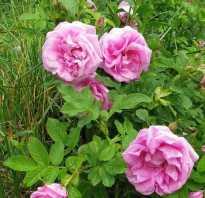 Роза рогоза растение. Роза ругоза, посадка и уход
