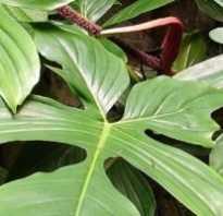 Филодендрон ксанаду уход. Филодендроны: уход, виды и сорта