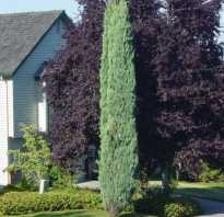 Колоновидный можжевельник. Как посадить и вырастить колоновидный можжевельник