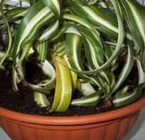 Почему у хлорофитума бледнеют листья. Хлорофитум желтеет и сохнет. Что делать?