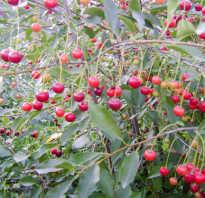 Сорт вишни щедрая отзывы. Сорт вишни Щедрая