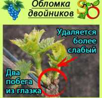 Чеканка винограда что это. Обломка, пасынкование и чеканка винограда