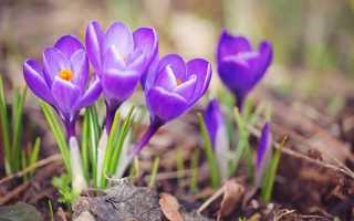 Крокусы фото цветов в горшке. Крокусы (90 фото цветов) — пошаговая инструкция по посадке, уходу и выращиванию в домашних условиях