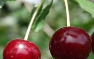 Подкормка войлочной вишни. Подкормка вишни весной: выбираем удобрения, чем подкормить вишню до цветения и после.
