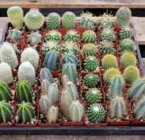 Сухой кактус. Болезни кактусов и их лечение в домашних условиях