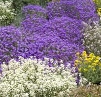 Стелющаяся трава многолетняя. Почвопокровные растения: названия и фото цветков