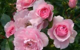 Роза боника 82 описание.