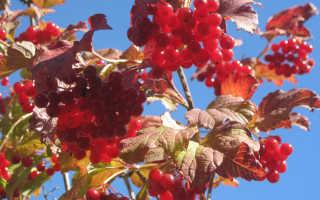 Когда собирают ягоды калины. Ягода калина – когда собирать, как хранить и что приготовить?