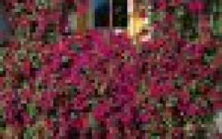 Петуния характеристика. Жизнерадостная красотка петуния — что это за растение, как выглядит и какого ухода требует?
