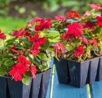 Рассада цветов в домашних условиях. Выращивание рассады цветов в домашних условиях и высадка в грунт
