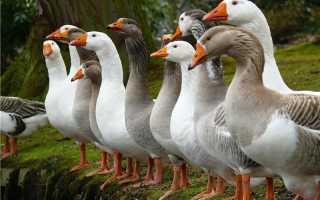 Сколько растут домашние гуси. Домашний гусь