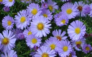 Октябренка цветок. Цветы сентябринки