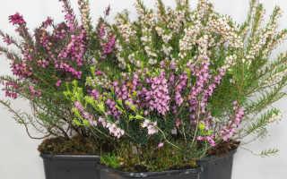 Эрика растение фото на даче. Растение эрика, посадка и уход