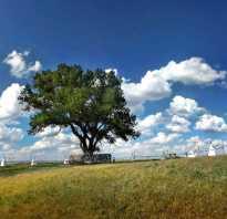 Тополь дерево польза и вред. Интересные факты о тополе
