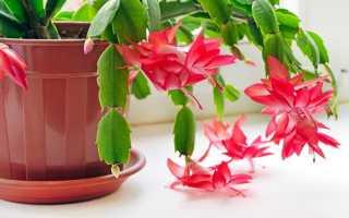 Почему цветок декабрист вянет. вянут листья декабриста