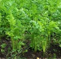 Морковная ботва лечебные свойства отзывы. Приготовления чая из ботвы моркови