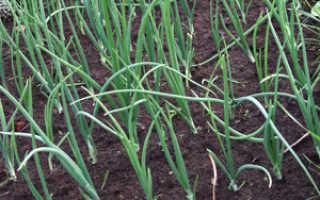 Предшественники лука севка. ЛУК. Выращивание репчатого лука: где посадить, когда, подготовка почвы.