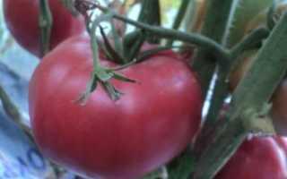 Томат король ранних характеристика и описание сорта. Отечественный сорт помидор Король ранних