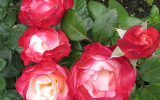Роза ностальгия. Роза «Ностальжи»: характеристика и сортовые отличия