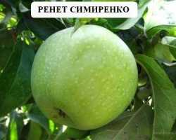 Яблоня семеренко описание фото отзывы. Яблоня «Симиренко»: описание сорта, фото и отзывы