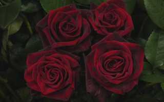 Роза черная магия посадка и уход. Роза Чёрная магия: секреты выращивания королевского цветка