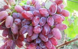 Сорт винограда клеопатра фото и описание. Клеопатра (Бурдака А.В.) — характеристики г.ф. винограда