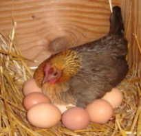 Сколько минут курица несет яйцо. Яйцо в курице — как образовывается и развивается?