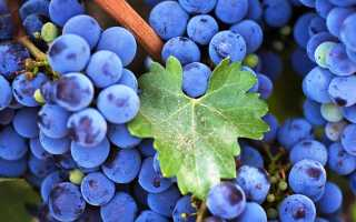 Польза и вред винограда изабелла. Виноград Изабелла – таит ли в себе ягода опасность или только витамины?