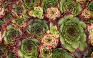 Молодило из семян. Как в домашних условиях вырастить молодило из семян? Полезные советы для садоводов