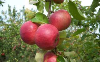 Сорт яблони жигулевское фото и описание. Сорт яблони Жигулёвское: как получить высокий урожай и справиться с недостатками