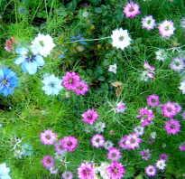 Нигелла дамасская фото. Нигелла или чернушка: выращивание из семян, уход и высушивание