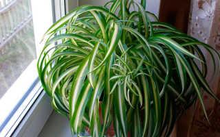 Растение похожее на хлорофитум. Цветы похожие на хлорофитум. Может украсить и дом, и двор